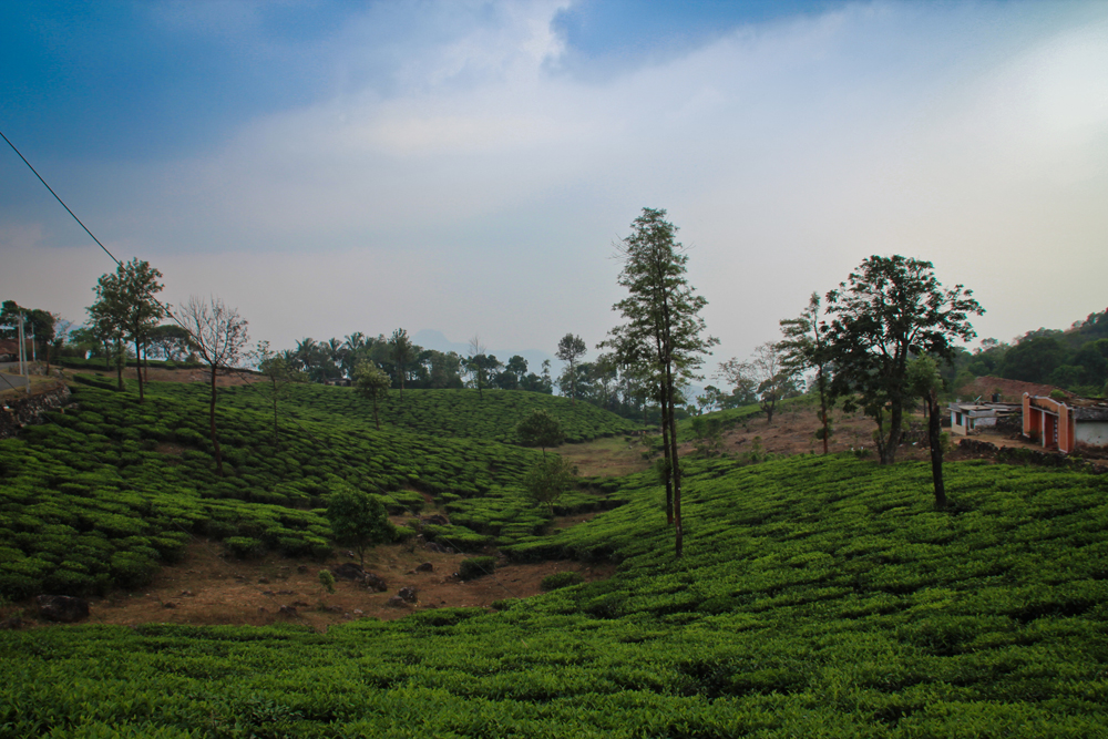 Tea plantations, Kerala, India, Lottie Gross